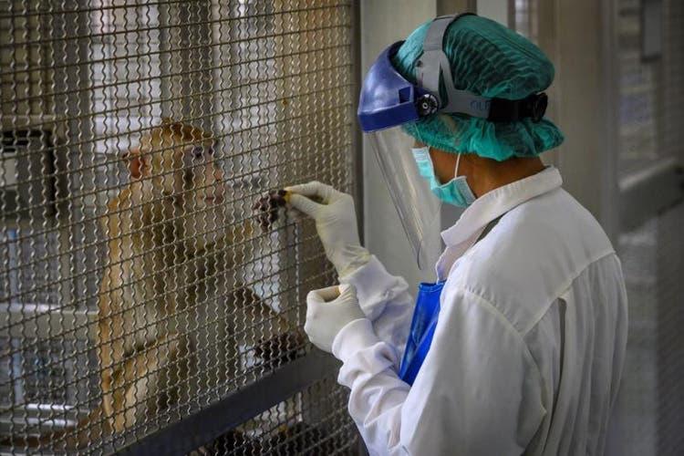 Vacina contra coronavírus testada em macacos tem bons resultados, mas gera dúvidas