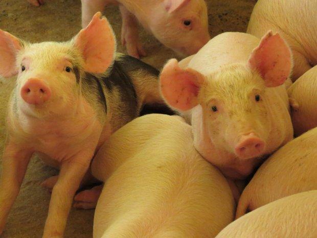 Santa Catarina completa cinco anos do reconhecimento internacional como livre de peste suína clássica