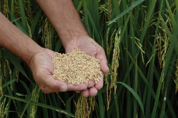 SC fatura US$ 24 milhões com exportação de arroz em 2018, dez vezes mais que no último ano