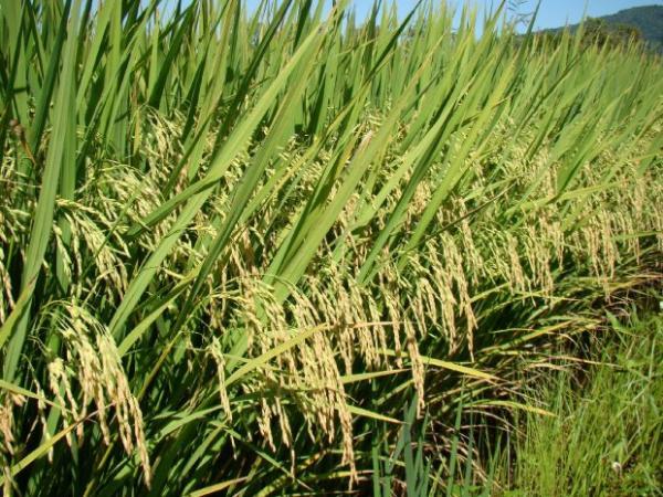 Segundo maior produtor nacional, Santa Catarina inicia a colheita de arroz