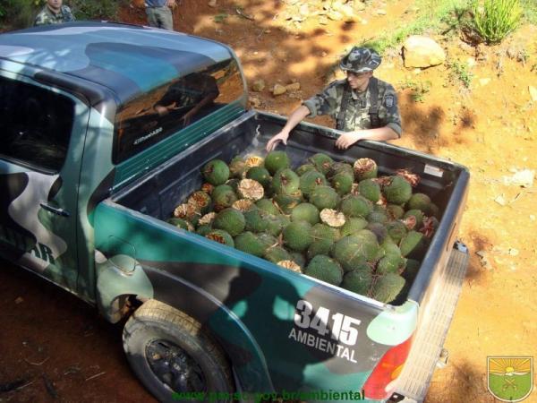 Colheita e venda de pinhão estão proibidas até 1º de abril