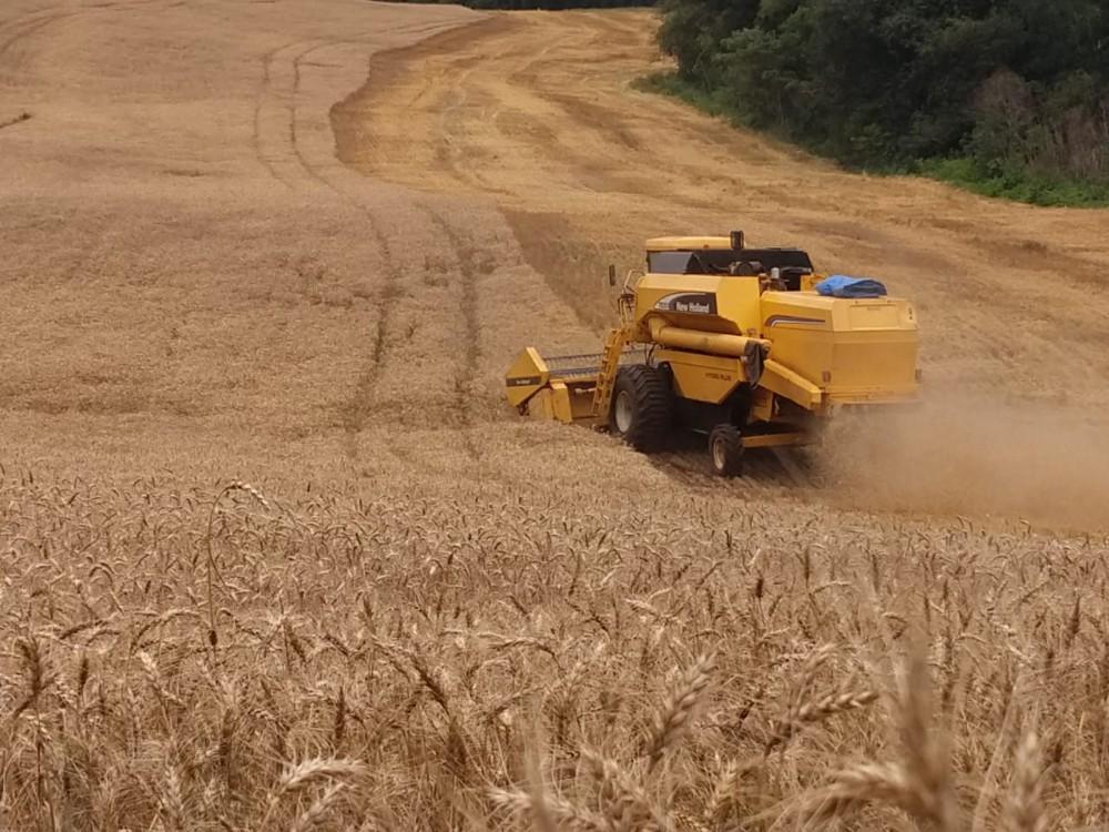 Pouca chuva prejudica produtividade, mas garante boa qualidade do trigo