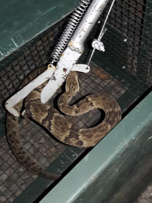 Cobra jararaca é encontrada em residência de Campo Erê